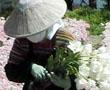 tulips-japan